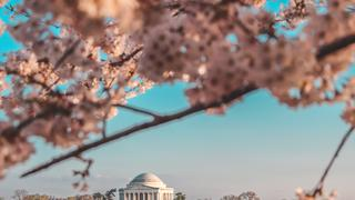 View of Thomas Jefferson Memorial cherry blossoms in foreground