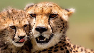 mother and baby cheetah sitting in grass