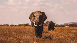 Two elephants in field
